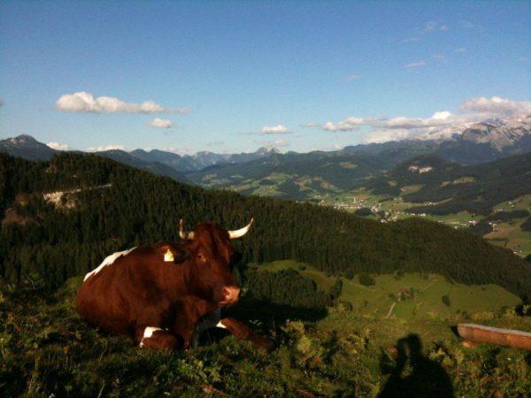 Kuh am Berghang mit Blick aufs Tal