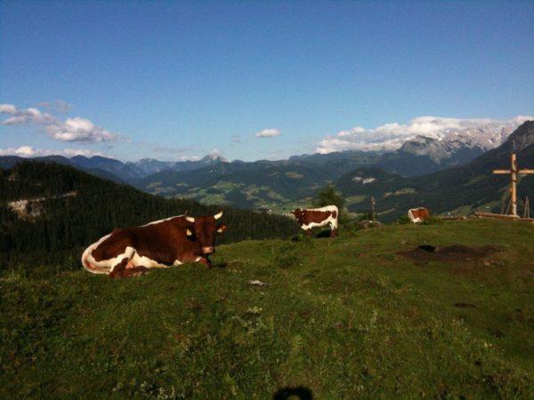 Kühe im Sonnenschein